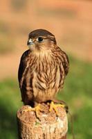 merlin falcon foto