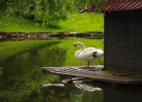 vit svan på ett damm i en stadspark foto