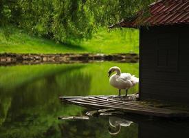 vit svan på ett damm i stadsparken foto