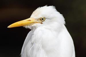 egret fågel foto