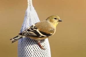 amerikansk guldfink (carduelis tristis) foto