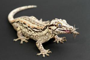 gargoyle gekko äter cricket foto