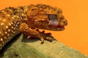 gecko slickande öga foto