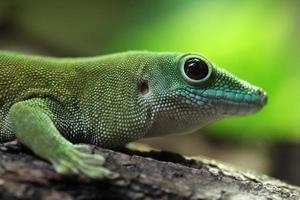 kochs gigantiska daggecko (phelsuma madagascariensis kochi). foto