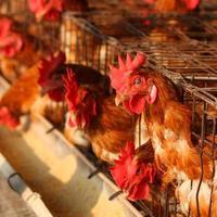 kyckling på traditionell fjäderfägård foto