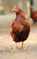 brun kyckling foto