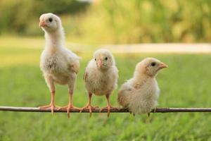 grupp små kycklingar foto