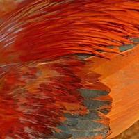 kycklingfjäder foto