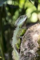ödla på en klippa i tropiskt område