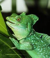 närbild av grön basilisk ödla foto