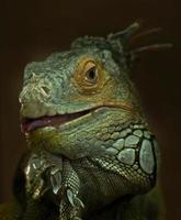 porträtt av grön leguan foto