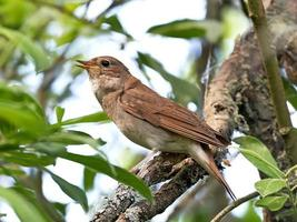 thrush nightingale (luscinia luscinia) foto