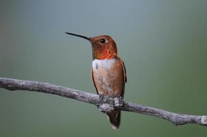 manlig rufous kolibri foto