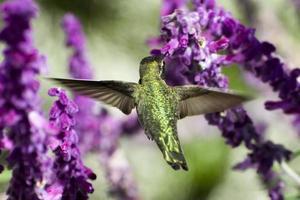 annas kolibri (calypte anna) foto