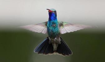 bredfakturerad kolibri foto
