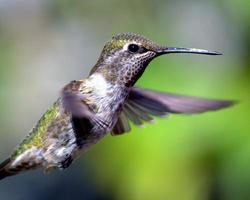 kolibri under flykten foto