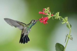 bredborrad kolibri på salvia