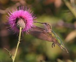 kolibri och tistelblomma foto