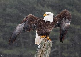 skallig örn med vingar sträckta foto