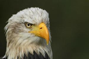 porträtt av en skallig örn. foto