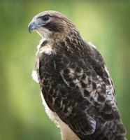 röd-tailed hawk foto