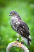 eurasian sparrowhawk foto