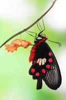 fjäril förändring form chrysalis foto