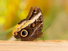 stor fjäril som sitter på en klippa foto