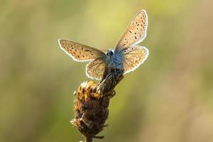 vanlig blå (polyommatus icarus) vilande foto