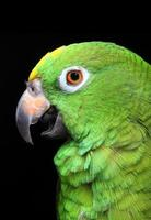 amazon papegoja foto
