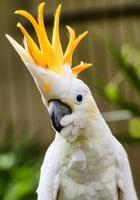 porträtt av svavel crested cockatoo foto