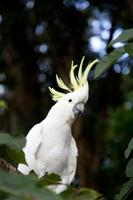 svavel crested cockatoo - cacatua galerita foto