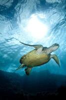 sköldpadda som simmar med solbrast i bakgrunden foto