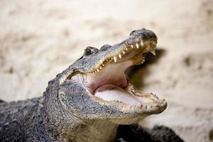 australisk krokodil foto