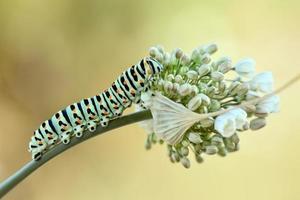 larv foto