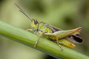 närbild av en gräshoppa på en växt