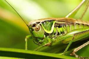 gräshoppa metriopetera roeselii foto