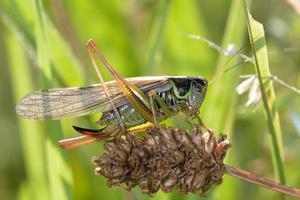 roesels bush-cricket (metrioptera roeselii) bevingade form foto