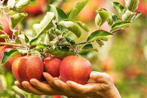 uppsättning äpplen på sjön konstance Tyskland foto