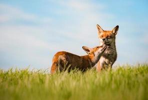 röda rävar (par) (vulpes vulpe) foto