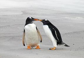 två gentoo-pingvin foto