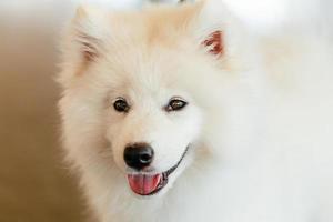 vit samoyed hundvalp foto