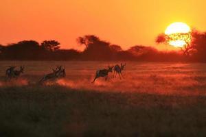 springbok solnedgångskörning - afrikanskt vilda djur