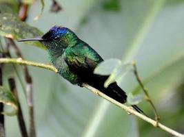 kolibri foto