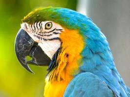 blå och gul mccaw foto