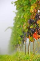 vingård foto