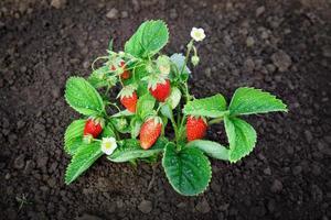 busk av jordgubbar foto
