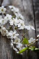 plommon i blom foto
