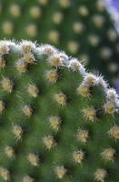 kaktusblommor foto