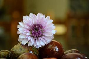 blomma på klipporna foto
